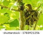 A Nesting Female Grosbeak...