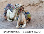 A Pair Of Walking Camels Rest...