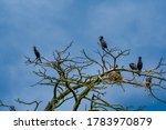 Huge Cormorant Colonies In The...
