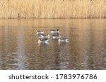 Six Beautiful Geese Swim Acros...