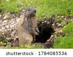 Marmot Standing Near Its Burrow ...