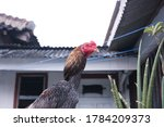 Rooster Portrait. Indonesian...