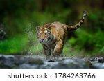 Siberian Tiger Splashing Water...