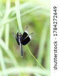 Pied Parasol Male  Dragonfly ...