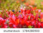 Small photo of Black crowberry berries (Empetrum). Crowberry among colorful autumn foliage. Tundra plants. Wild berries that grow in the Arctic. Nature of Chukotka and Siberia. September. Shallow depth of field.