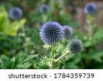 Globe Thistle Closeup In Garden