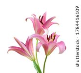 Pink Lily Flowers On A White...