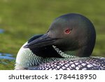 Common Loon In Summer  Quebec ...