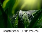 Water Drops On Green Leaf....
