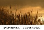 Reed Bed In A Golden Haze...