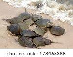 Horseshoe Crabs Spawning On Th...