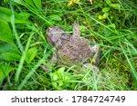 Close Up Big Brown Frog Sittin...