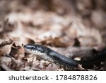 A North American Black Snake...