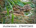 Wild Ducks In Nest  Small...