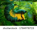 Multi Color Siamese Fighting...
