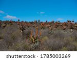 Aloes Standing On Slope Of Hill ...