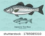Japanese Sea Bass. Vector illustration with refined details and optimized stroke that allows the image to be used in small sizes (in packaging design, decoration, educational graphics, etc.)