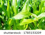 American Cornfield With Large...