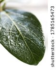 macro green benghal nsis ficus... | Shutterstock . vector #1785165473