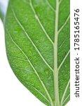 macro green benghal nsis ficus... | Shutterstock . vector #1785165476