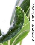 macro green benghal nsis ficus... | Shutterstock . vector #1785165479