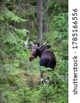 Small photo of Handsome elk in the forest. Summer in Finland. Finnish moose