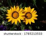Two Big Yellow Gazania Flowers...