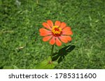 Zinnia elegans  known as youth...