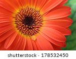 Gerbera Flower Macro With Water ...