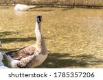 Side View Of Chinese Goose Or...