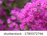 Pink azalea flower  in full...