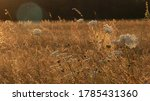 Umbelliferae And Flowers In Th...