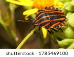 Small photo of Colorful Striped bug (Graphosoma italicum) The red and black striped insect is also known as the Striped bug (or Italian striped bug) and Minstrel bug