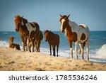 Assateague Island Wild Horses...