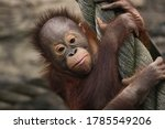 Little Baby Orangutan Monkey...