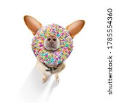 Small photo of silly dumb crazy dog with a donut in its face looking funny , isolated on white background