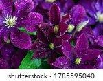 Purple Clematis Flowers ...