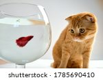 A Red Cat Looks At A Fish In A...