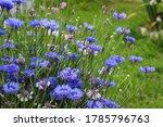 Blue Flowers Cornflowers In Th...