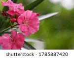 Pink Oleander Flower Soaked In...