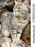 A Gray Tabby Cat  A British...