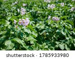 Potato Plants Grow In Rows In A ...