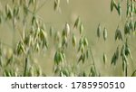 Oats Grain Growing At A Field...