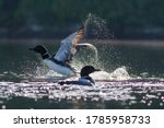 Pair Of Common Loon In Summer ...