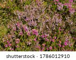 The Delicate Pinks Of The...