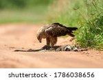 Tawny Eagle  Aquila Rapax ...