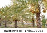 Plantation Of Date Palms....