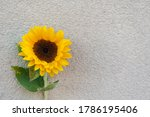 Sunflower Blossom Isolated On...