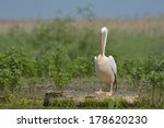white pelican on a log in... | Shutterstock . vector #178620230