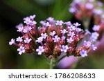 Close Up Of Verbena Flowers
